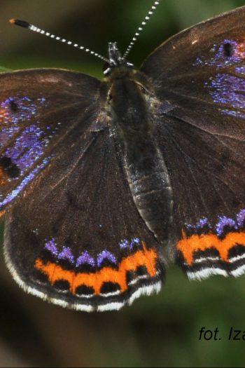 Czerwończyk fioletek, fot. Izabela Dziekańska